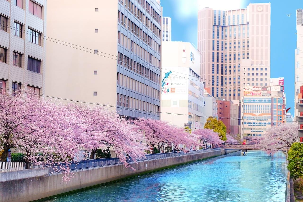 横浜駅 桜